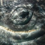 """Conversations with """"Scarback"""" Depoe Bay's Resident Gray Whale…"""